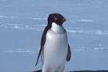 Pygoscelis adeliae – pinguini di Adelia: i piccoli mai soli