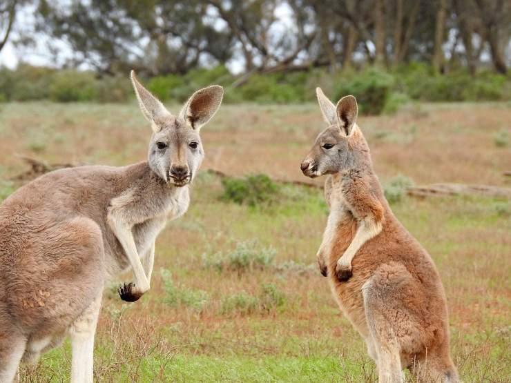 canguro-caratteristiche